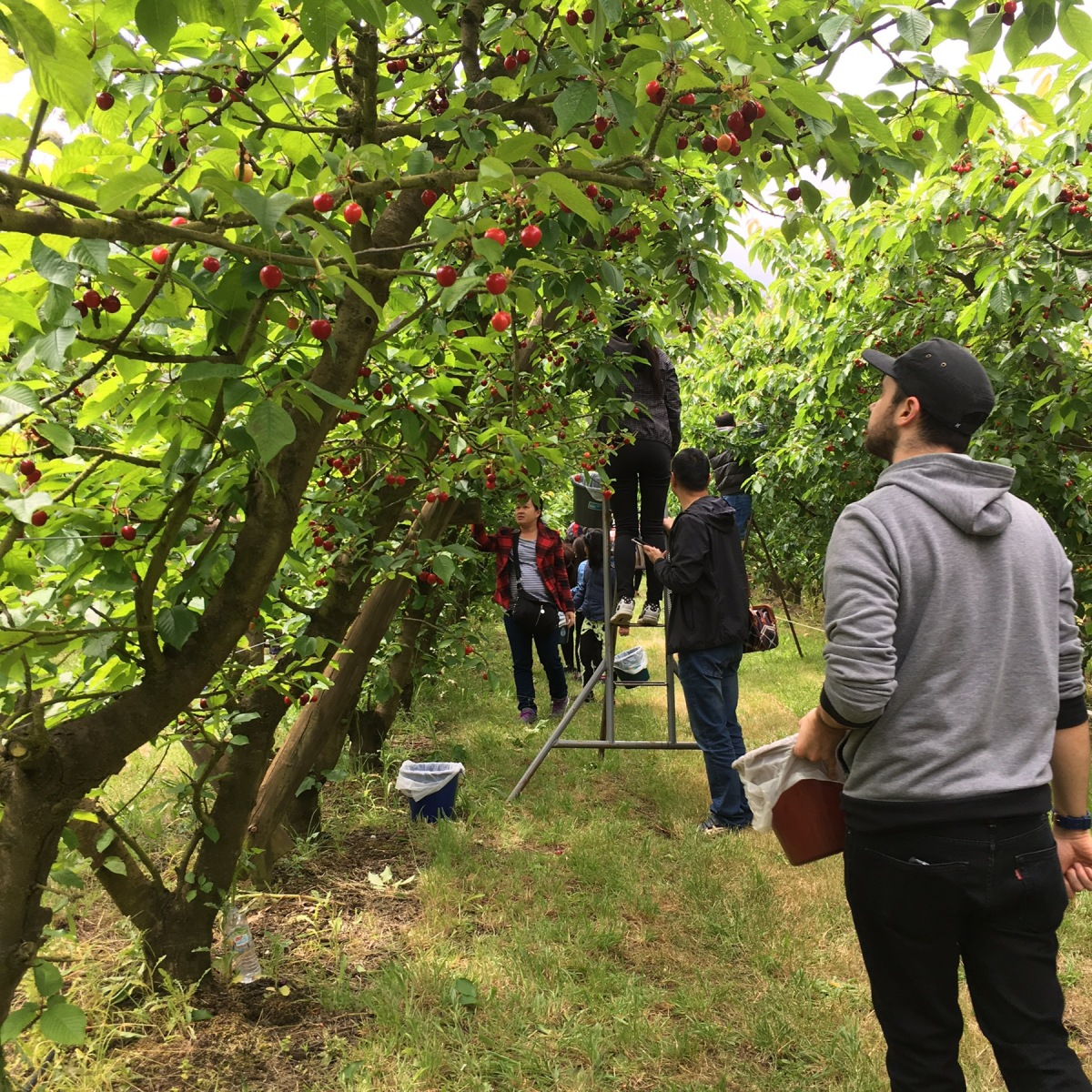Cherry picking in the Mornington Peninsula